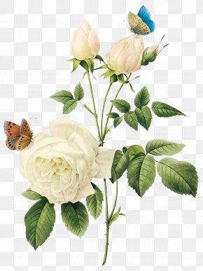 White Rose Image, Flower White Rose Picture - Rose Flower White PNG