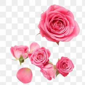 Pink Rose - Garden Roses Centifolia Roses Beach Rose Pink Petal PNG