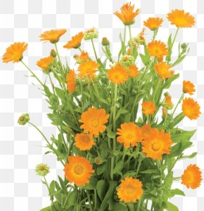 Flower - Calendula Officinalis Flower Orange Shrub Stock Photography PNG