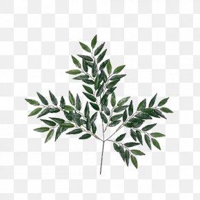 Eucalyptus Leaves Picture Material - Eucalyptus Globulus Eucalyptus Robusta Eucalyptus Oil Essential Oil Leaf PNG