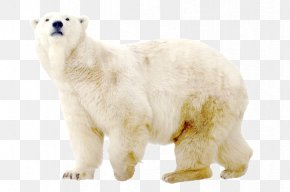 Polar White Bear - Polar Bear Dog North Pole Arctic PNG