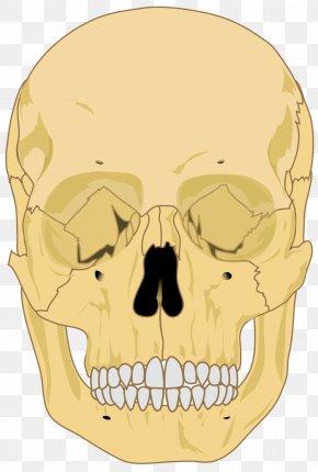 Skull Clipart - Human Skeleton Skull Human Body Homo Sapiens PNG