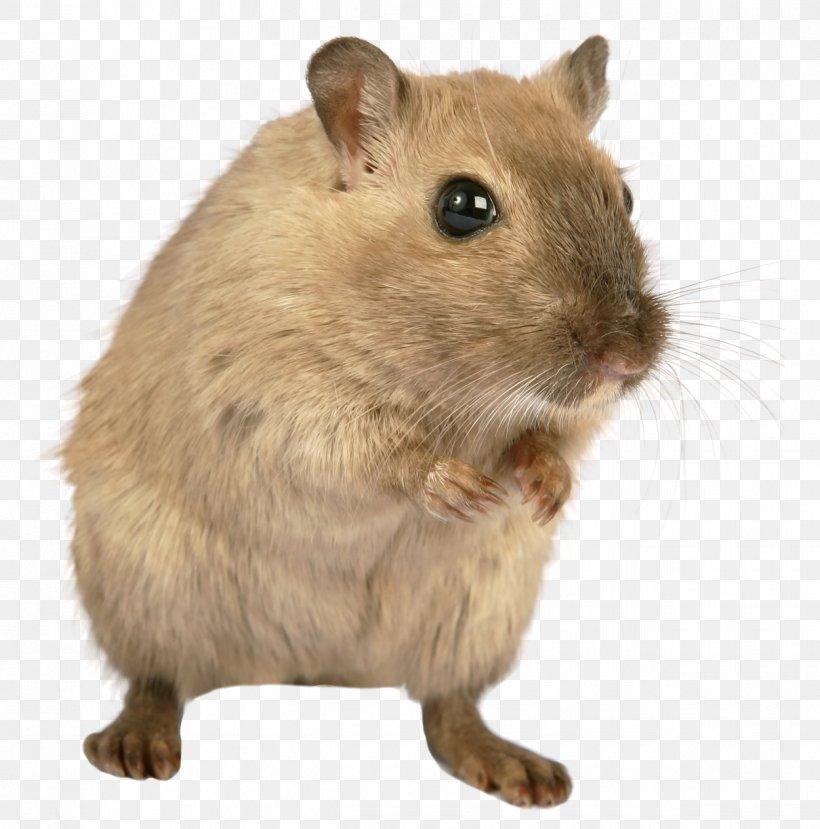 Brown Rat Mount Bosavi Rodent Laboratory Rat, PNG, 1250x1265px, Brown Rat, Animation, Computer Mouse, Degu, Fauna Download Free
