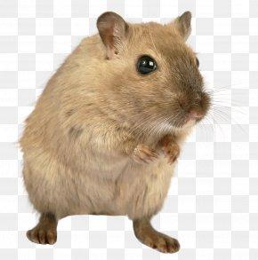 Mouse, Rat Image - Brown Rat Mount Bosavi Rodent Laboratory Rat PNG