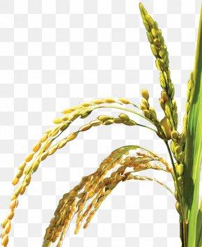 Rice,plant,Bumper - Oryza Sativa Web Template Icon PNG