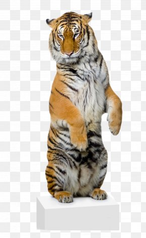 Lion - White Tiger Lion Bengal Tiger Stock Photography Felidae PNG