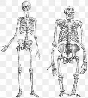 Doodle - Chimpanzee Gorilla Primate Neandertal Human Skeleton PNG