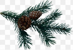 Pine Cone - Pine Spruce Fir Conifer Cone PNG