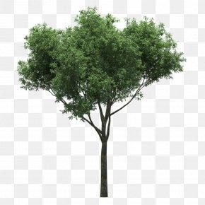Tree - Quercus Suber Populus Nigra Gum Trees PNG