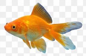 Goldfish Stamp - Koi Common Goldfish Black Telescope Aquarium Feeder Fish PNG