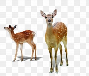 Animal Figure Fawn - Deer Wildlife Terrestrial Animal Roe Deer White-tailed Deer PNG