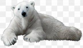 Polar White Bear - Polar Bear Kodiak Bear Clip Art PNG