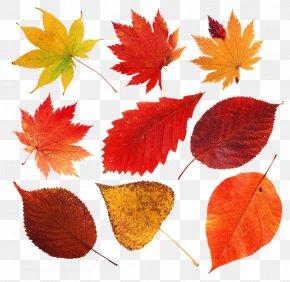 Leaf - Leaf Autumn Leaves Clip Art Image Petal PNG