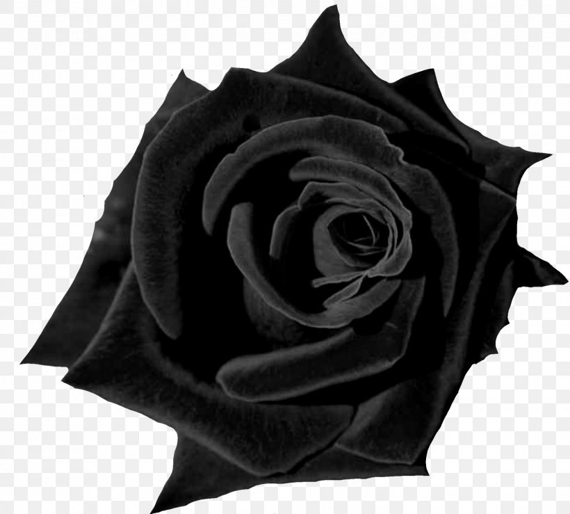 Black Rose Desktop Wallpaper Flower Red Png 1600x1442px 4k Resolution Rose Black Black And White Black