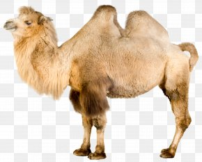 Camel - Bactrian Camel Dromedary Mongolia Even-toed Ungulates PNG