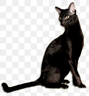 Family Cat - Black Cat Bombay Cat Korat Burmese Cat German Rex PNG