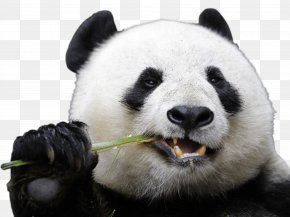 Panda - Chengdu Research Base Of Giant Panda Breeding San Diego Zoo Bear PNG