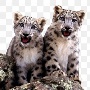 Two Cute Little Snow Leopard Cubs - The Snow Leopard Cat Felidae Fact PNG