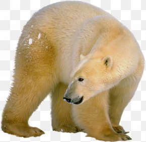 Polar White Bear - Polar Bear Brown Bear Clip Art PNG