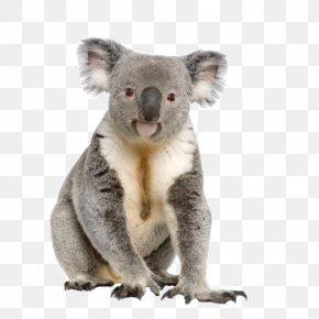 Koala - Koala Australia Stock Photography IStock Male PNG