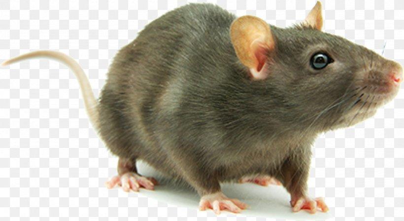 Brown Rat Mouse Rodent Laboratory Rat Cockroach, PNG, 1180x646px, Brown Rat, Black Rat, Cockroach, Dormouse, Fancy Rat Download Free