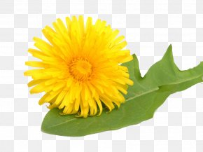 Free Yellow Dandelion Pull Material - Common Dandelion Leontodon Yellow Stock Photography Medicinal Plants PNG