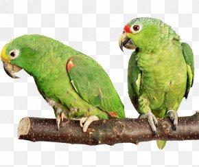 Parrot - Parrot Bird Budgerigar Cockatiel Hamster PNG