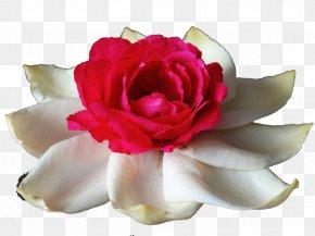 Lotus Rose - Garden Roses Centifolia Roses Rosa Chinensis Flower White PNG