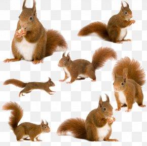 Creative Squirrel - Tree Squirrels Red Squirrel Animal PNG