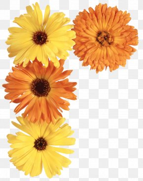 Yellow Flowers - Flower Pot Marigold Daisy Family PNG