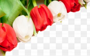 Tulip Flower Background - Indira Gandhi Memorial Tulip Garden Flower Wallpaper PNG