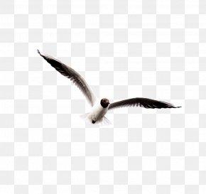 Black Wings Seagull - Ivory Gulls Bird Clip Art PNG