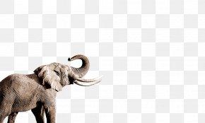 Elephant - African Elephant Indian Elephant Nose PNG