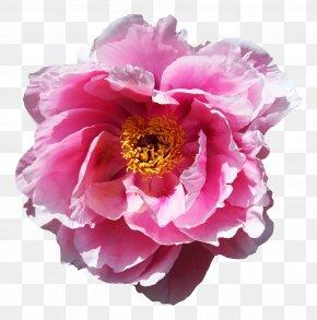 Rose Flower - Flower Rose PNG
