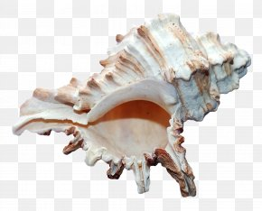 Sea Ocean Shell - Seashell Mollusc Shell Shell Beach PNG