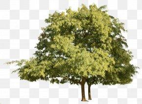 Tree - Tipa Plane Trees Magnolia Grandiflora Gallisoniensis PNG