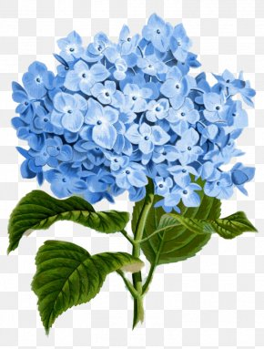 Hydrangea - Hydrangea Paper Flower Botanical Illustration Clip Art PNG