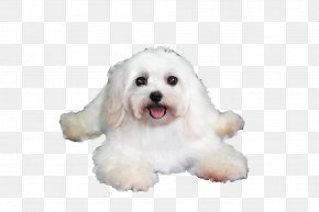 Lying On The Floor Puppy - Maltese Dog Havanese Dog Coton De Tulear Bolognese Dog Bichon Frise PNG