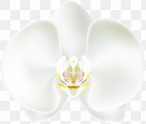 White Orchid Clip Art - Moth Orchids White Ear Wallpaper PNG