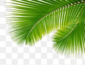 Palm Leaf, Leaves - Arecaceae Leaf Palm Branch PNG
