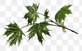 Tree - Maple Leaf Branch Tree Birch PNG