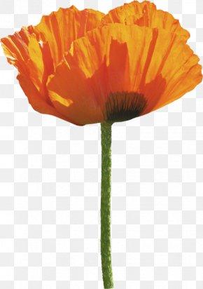 Orange Poppy - Common Poppy Flower PNG