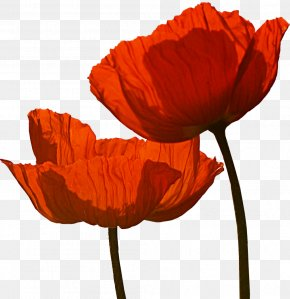 Poppy - Poppies Martinborough Wine Anzac Day Armistice Day PNG