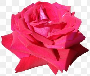 Belur Math - Garden Roses Cabbage Rose Cut Flowers Plant PNG