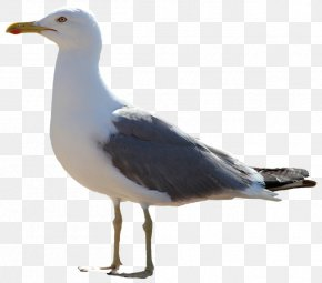 Gull - The Seagull Icon PNG