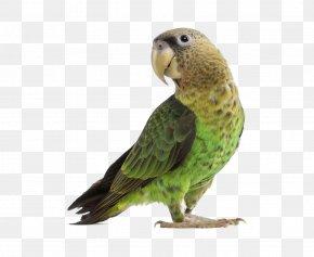 Parrot - Parrot Budgerigar Cockatiel Lovebird PNG