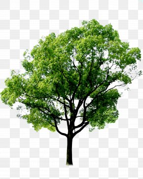 Plant,tree,forest - Tree Forest Plant PNG