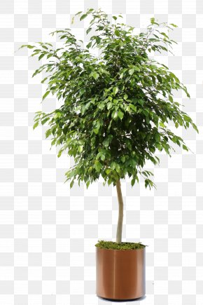 Bonsai - Weeping Fig Ficus Retusa Ficus Microcarpa Houseplant PNG