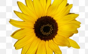 Cartoon Sunflower - Common Sunflower Vector Graphics Drawing Illustration PNG