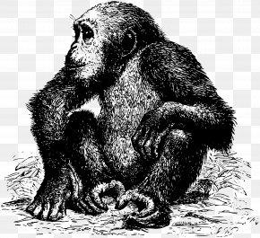 Chimpanzee - Gorilla Chimpanzee Orangutan Animal Monkey PNG